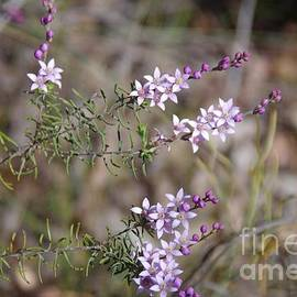 Philotheca spicata - Pepper And Salt Flower by Lesley Evered