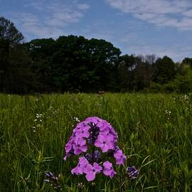 Phlox by Photography by Tiwago