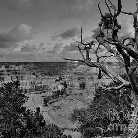 Grand Canyon Trees Black White  by Chuck Kuhn