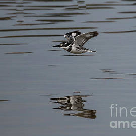 Pied Kingfisher Fishing by Eva Lechner