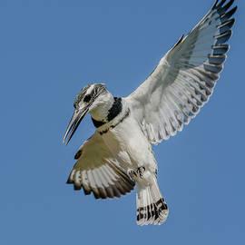 Pied Kingfisher Flight by Morris Finkelstein