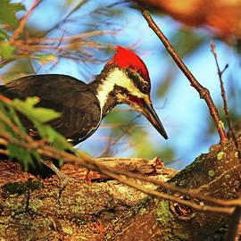 Pileated Woodpecker In Oak Tree by Debbie Oppermann