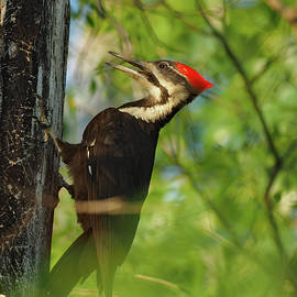 Pileated Woodpecker by James Peterson