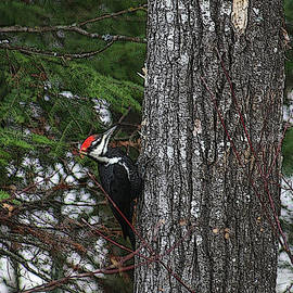 Pileated Woodpecker by Mary Mikawoz