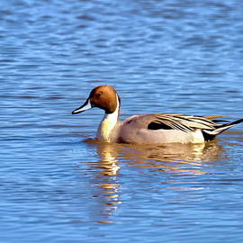 Pin Tail duck at Forsythe Wildlife Reserve by Geraldine Scull