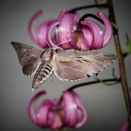 Pine hawk-moth in the night by Jouko Lehto