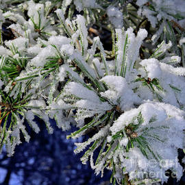 Pine needles covered by snow by Tibor Tivadar Kui