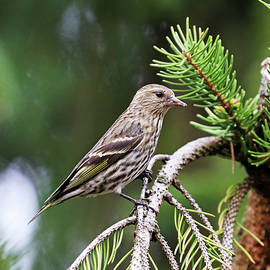 Pine Siskin In Spruce Tree by Debbie Oppermann