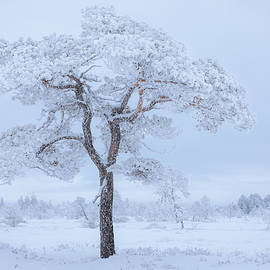 Pine tree covered in hoarfrost by Juhani Viitanen