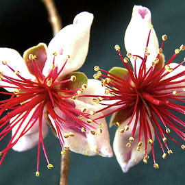 Pineapple Guava  or Acca Sellowiana by Jerry Griffin
