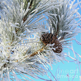 Pinecones in Frosted Needles by Kae Cheatham