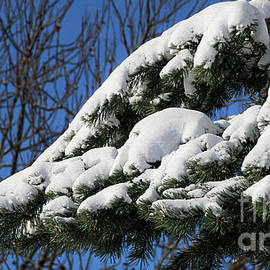 Pines_9342 by Gary Gingrich Galleries