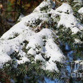 Pines_9393 by Gary Gingrich Galleries