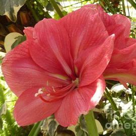 Pink Amaryllis Belladonna by Lingfai Leung