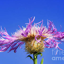 Pink and White Basket Flower on Blue by Bob Phillips