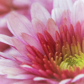 Pink and White Dahlia by Terry Davis