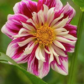 Pink and White Dahlia by Venetia Featherstone-Witty
