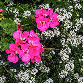 Pink and White Flowers 683 by James C Richardson