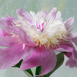 Pink and White Peony by Patti Deters