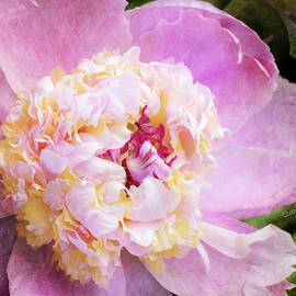Pink and Yellow Peony by Betty Denise