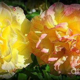 Pink and Yellow Roses in Early Summer by Dora Sofia Caputo Photographic Design and Fine Art