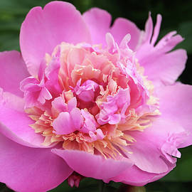 Pink-Beige Peony With Delicate Petals And Green Leaves In The Ga by Snezana Petrovic