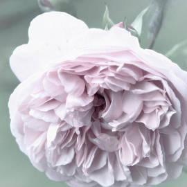 Pink big rose by Lali Kacharava