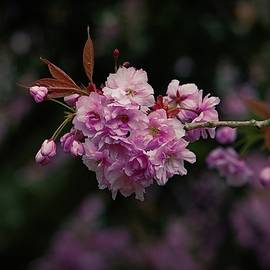 Pink Blossom Flowers by Watto Photos