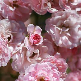 Pink Bud Among Roses by Joy Watson