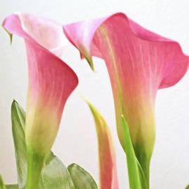Pink Calla by Jasna Dragun