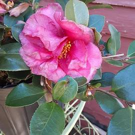 Pink Camellia in full bloom by Charlotte Gray