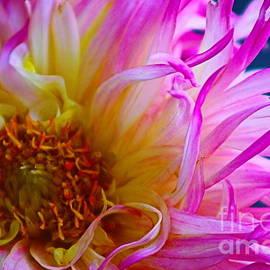 Pink Chrysanthemum by Ash Nirale