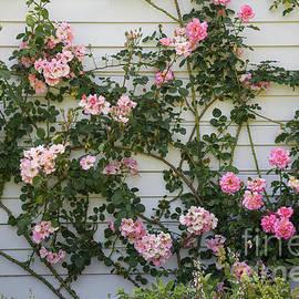 Pink Climbing Rose by Elaine Teague