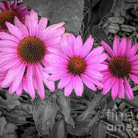 Pink Coneflowers by Elisabeth Lucas