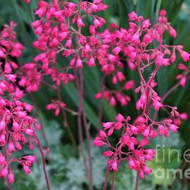 Pink Coral Bells by Maria Faria Rodrigues