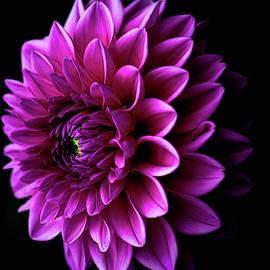 Pink Dahlia V by Joan Han