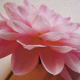 Pink Dahlia by Vishwanath Bhat