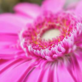 Pink daisy by Ognian Setchanov