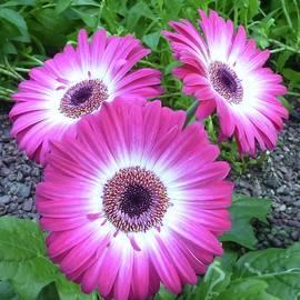 Pink Daisy Trio by Barbie Corbett-Newmin