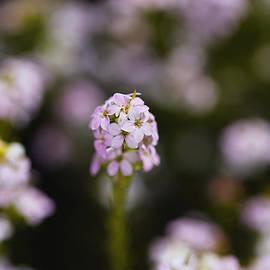 Pink Diosma Flower by Joy Watson