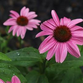 Pink Echinacea After the Rain by Marlin and Laura Hum