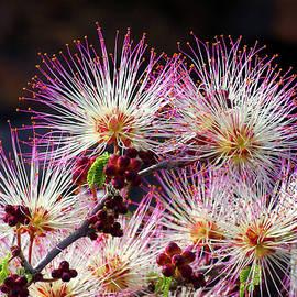 PINK FAIRY DUSTER, Calliandra eriophylla by Douglas Taylor
