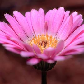Pink Gerbera by As MemoriesLiveOn