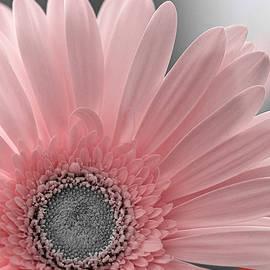 Pink Herbera Art Print by Lily Malor
