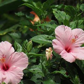 Pink Hibiscus Flowers by Kay Novy