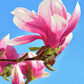 Pink Magnolia Beauty and Blue Sky by Regina Geoghan