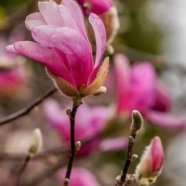 Pink Magnolias by Susan Rydberg