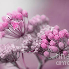 Pink Milkweed Flowers by Sharon McConnell