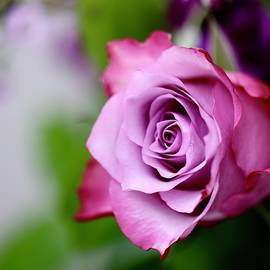 Pink Rose Passion by Kelly J Kreger