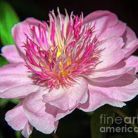 Pink Peony Aflame by Michele Hancock